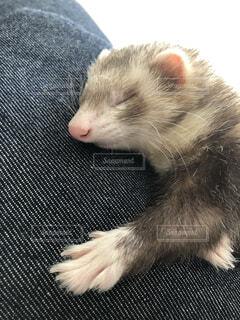 寝てる姿が超絶癒しのフェレットの写真・画像素材[4190036]