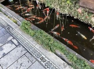 鯉の写真・画像素材[4194834]