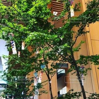 七夕の木の写真・画像素材[4194985]