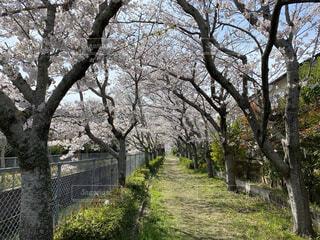 ジョギングロード、春は桜のトンネルの写真・画像素材[4318259]