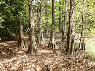 幻想的な森に差し込む木漏れ日、ジプリの世界の写真・画像素材[4361887]