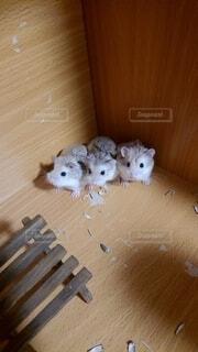集まるロボロフスキーの写真・画像素材[4198159]
