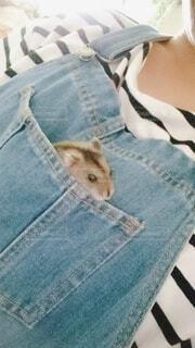 ポケットから顔を出すハムスターの写真・画像素材[4198481]