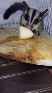 リンゴを食べるフクロモモンガの写真・画像素材[4210480]