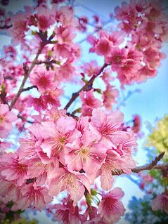 ピンクの桜のクローズアップの写真・画像素材[4220013]