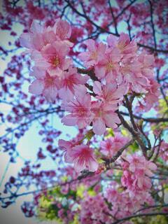桜のクローズアップの写真・画像素材[4220015]