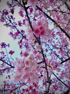 ピンク色の桜の写真・画像素材[4220014]