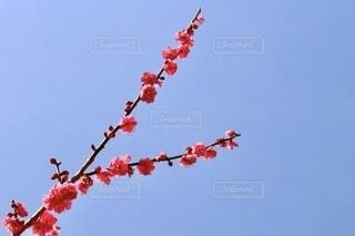 晴れた日の梅の木の写真・画像素材[4200576]