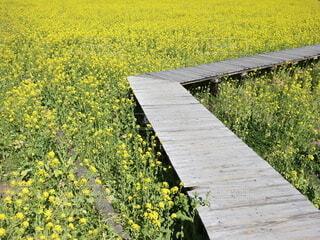 菜の花畑にかかる橋の写真・画像素材[4199241]