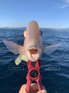 残念な魚の写真・画像素材[4201432]