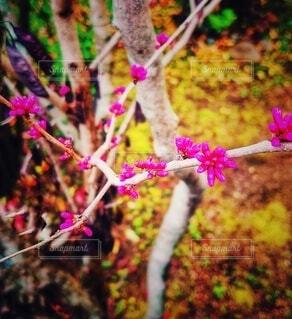 庭のハナズオウのつぼみの写真・画像素材[4268889]