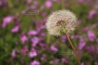 たんぽぽとピンクの花の写真・画像素材[4214630]