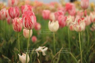 ピンクのチューリップの写真・画像素材[4214675]