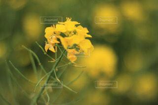 菜の花の写真・画像素材[4214676]