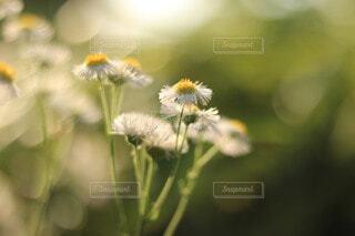 白い花の写真・画像素材[4214709]