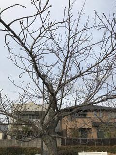 開花前の桜の写真・画像素材[4215962]