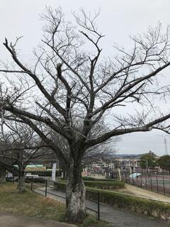 開花前の桜の木の写真・画像素材[4224283]