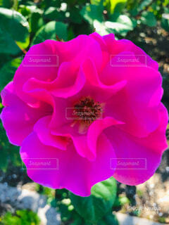 鮮やかなピンク色の花の写真・画像素材[4364258]