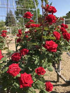 満開の赤いバラの写真・画像素材[4364257]