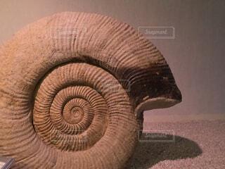 アンモナイトの化石の写真・画像素材[4456905]