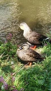 鴨の写真・画像素材[4282428]
