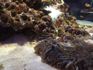 熱帯魚の写真・画像素材[179966]