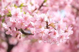 河津桜の写真・画像素材[4257366]