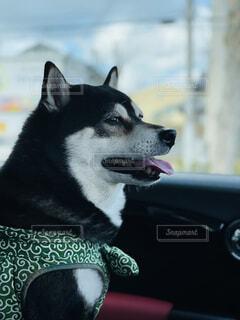ドライブを楽しむ助手席の柴犬の写真・画像素材[4216614]