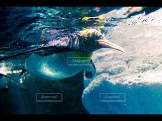 泳ぐペンギンの写真・画像素材[4218398]