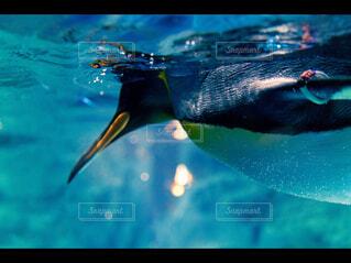 泳ぐペンギンの写真・画像素材[4218396]