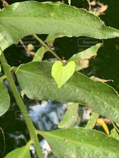 小さいハートの葉っぱの写真・画像素材[4221921]