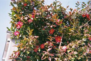 椿の花の写真・画像素材[4225036]