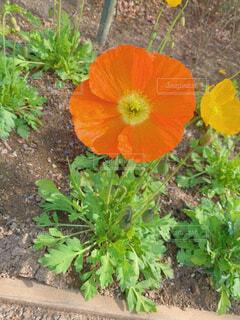 オレンジの花アイスランドポピーの写真・画像素材[4296968]