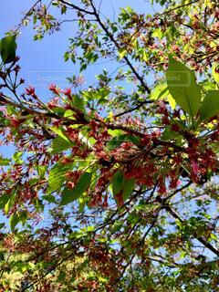 花が散った後の桜の木の写真・画像素材[4315017]