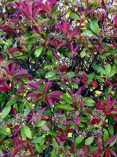 レッドレビンの花の写真・画像素材[4347747]
