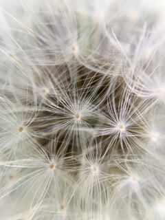 たんぽぽの綿毛のクローズアップの写真・画像素材[4356688]