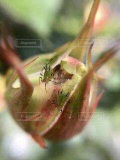 薔薇のつぼみに2匹のアブラムシの写真・画像素材[4386405]