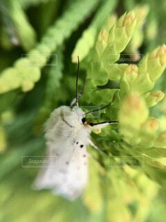 羽化したての白い蛾の写真・画像素材[4387028]