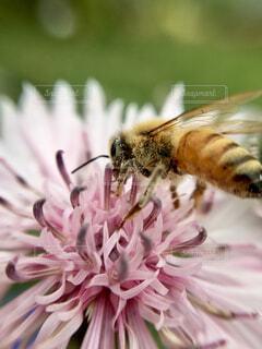 矢車草の花にとまるミツバチの写真・画像素材[4402146]