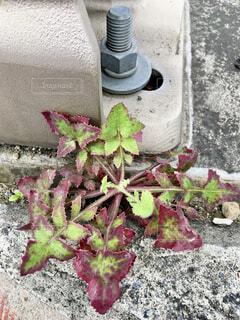コンクリートの隙間に根付くロゼット状の雑草の写真・画像素材[4417413]