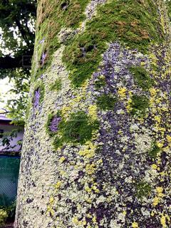 梅雨時の苔むした木の幹が美しいの写真・画像素材[4435987]