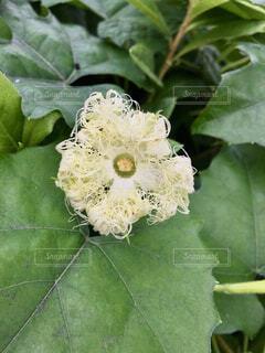 昼間のカラスウリの花の写真・画像素材[4562348]
