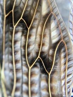 アブラゼミの羽のクローズアップの写真・画像素材[4665401]