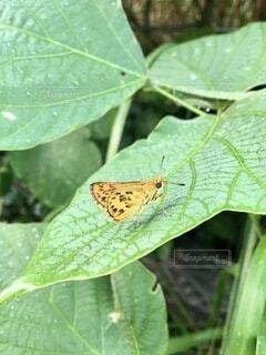 葉にとまるキマダラセセリの写真・画像素材[4683812]