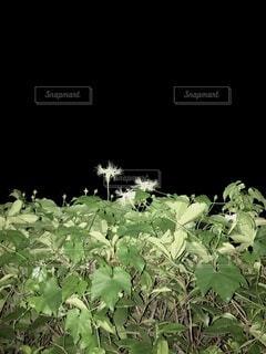 夜に咲くカラスウリの花の写真・画像素材[4711466]