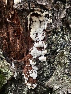 桜の木に白いキノコの写真・画像素材[4727946]