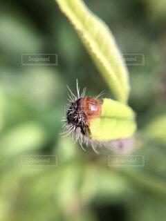 バラ科の葉を食べるウメスカシクロバの幼虫の写真・画像素材[4790311]