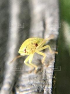 威嚇するカメムシの幼虫の写真・画像素材[4790330]