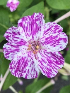 オシロイバナの花の写真・画像素材[4792615]