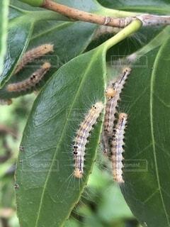 チャドクガの幼虫の写真・画像素材[4792614]